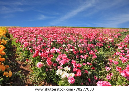 Israeli spring. Kibbutz fields with bright flowers Ranunculus. Flowers are grown for export - stock photo
