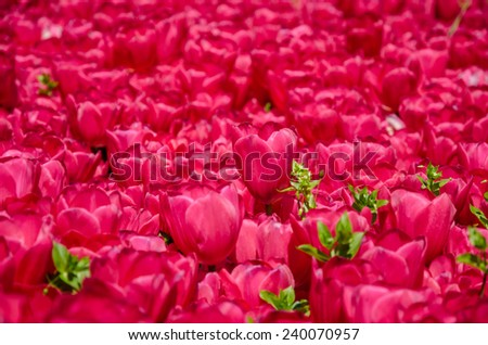 Istanbul tulips - stock photo