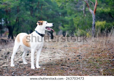 Istrian Shorthaired Hound dog standing in the wood - stock photo