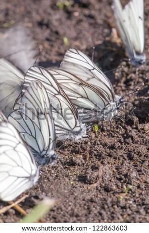 It is a lot of butterflies on soil - stock photo