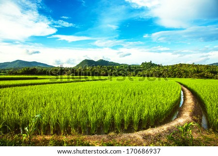 It is a natural view of the big mountains that are surrounding the green farm of rice which contrasts nicely with the clear blue sky. - stock photo