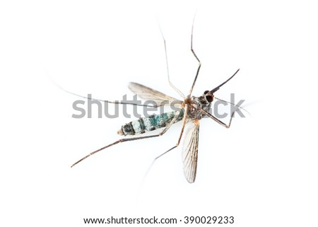 It is One dead mosquito isolated on white. - stock photo