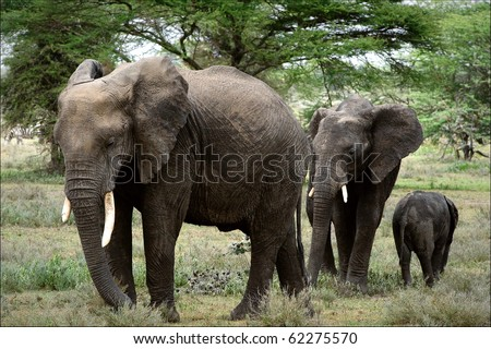 It is punished. The family of the African Bush Elephants. - stock photo