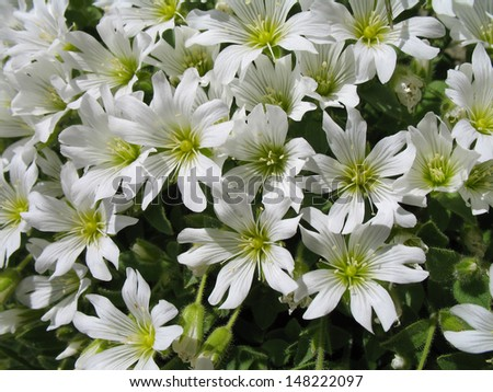 Italian Alps, Valtellina mountains, mountain flowers - stock photo