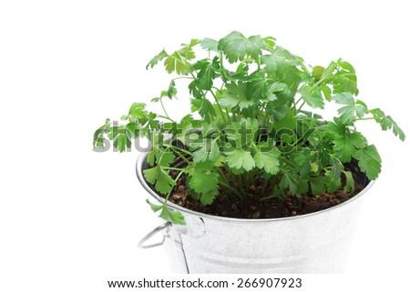 Italian parsley - stock photo