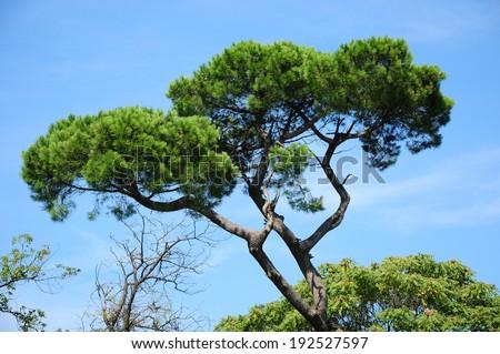 Italian stone pine (Pinus pinea) - stock photo