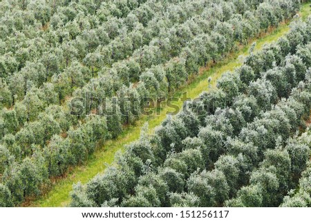 italy tuscany rural land industrial agricultural landscape farm growing olive trees rows of green plants summer day - stock photo