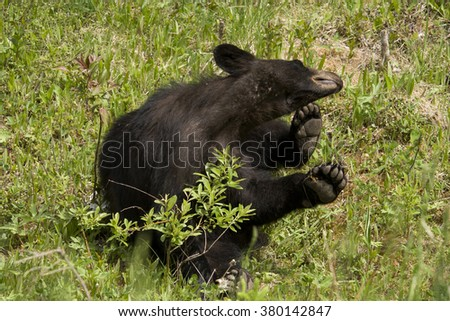 Itchy 2 --  A black bear cub strikes a cute pose as it scratches a bothersome itch. - stock photo