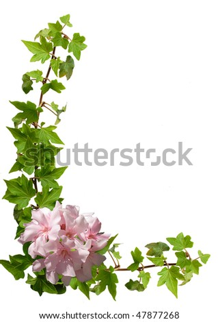 ivy and oleander isolated on the white - background for your text - stock photo
