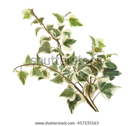 Ivy branch. Hedera, helix. Cose up isolated on white background - stock photo