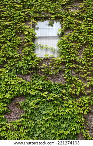 Ivy covered wall with window - stock photo