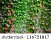 ivy covering wall - stock photo