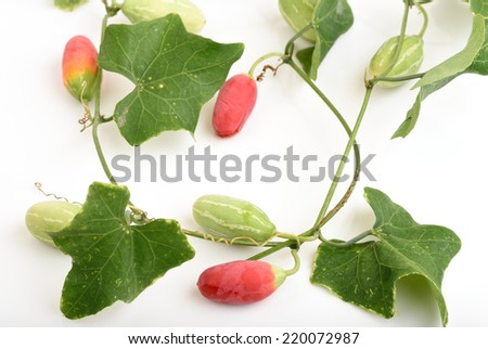 Ivy Gourd (Coccinia grandis ). - stock photo