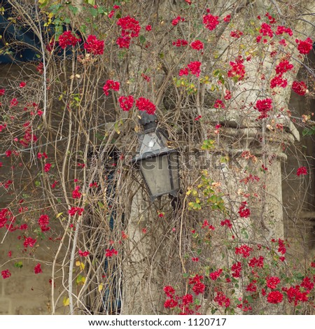Ivy growing around a lamp on a building structure, Havana, Cuba - stock photo