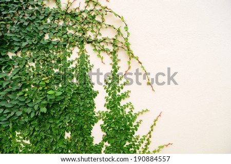 Ivy growing up a wall - stock photo