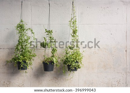 Ivy grown in plastic pots hanging on the walls. - stock photo