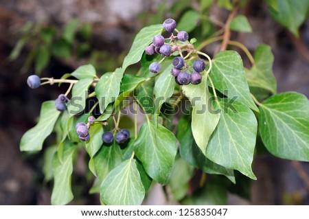 Ivy (Hedera helix) - stock photo