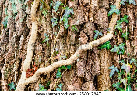 Ivy, Hedera helix or European ivy climbing on rough bark of a tree. - stock photo