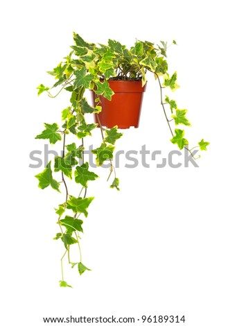 Ivy in flowerpot isolated on white - stock photo