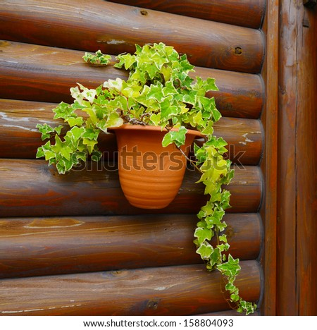 ivy in the pot - stock photo