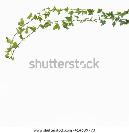 ivy leaf - stock photo