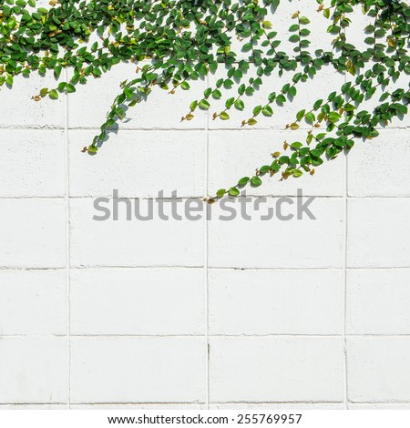 Ivy leaves the island on a brick wall white background. - stock photo