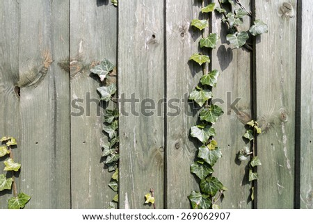 Ivy on a Wooden Fence - stock photo