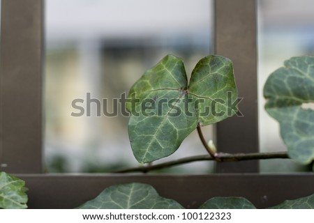 ivy on fence - stock photo