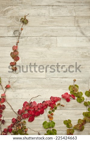 Ivy on the concrete wall in the fall(autumn, september, october, november) in korea. - stock photo