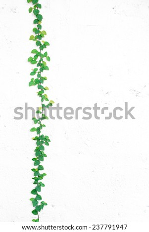 Ivy on white wall - stock photo