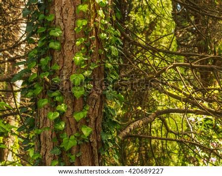Ivy plant growing around the tree - stock photo