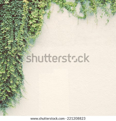 Ivy plant on white wall with retro filter effect - stock photo