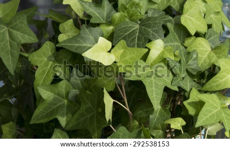 Ivy Texture - stock photo