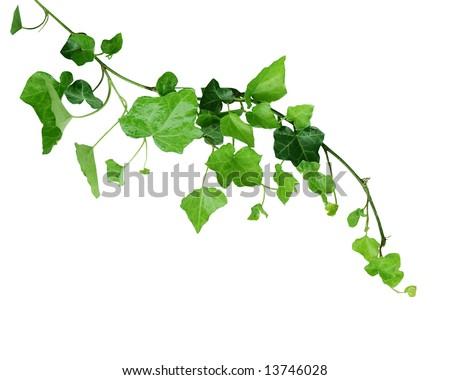 Ivy vine isolated on white background - stock photo