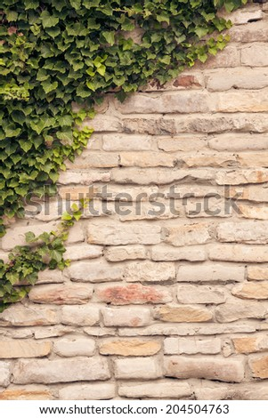 Ivy vines climbing up old, rustic stone wall. Fresh new spring ivy growing on a grungy old wall. - stock photo