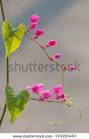 Ivy with two heart shaped green leaves and many heart shaped pink flowers  - stock photo