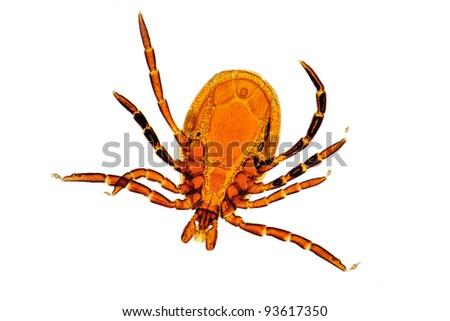 Ixodes ricinus tick - male - stock photo