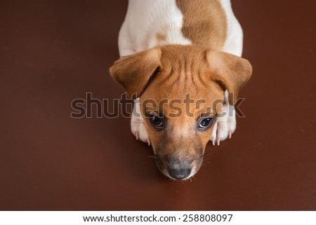 Jack Rassell terrier puppy on the sofa - stock photo