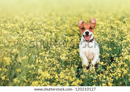 jack russel on flower meadow - stock photo