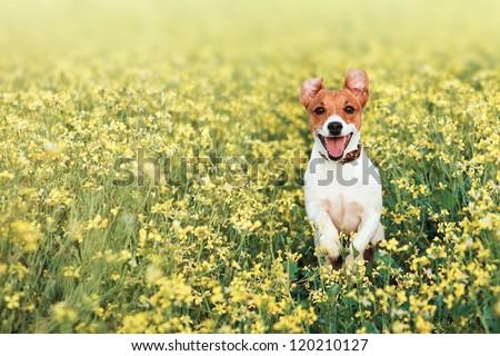 jack russel on flower meadow - stock photo