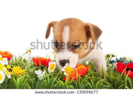 Jack Russel puppy dog sniffing at flowers isolated over white background - stock photo