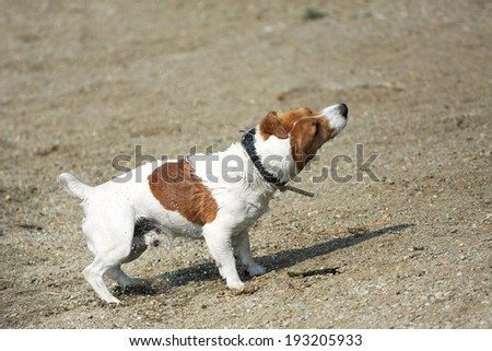 jack russel shaking off water - stock photo