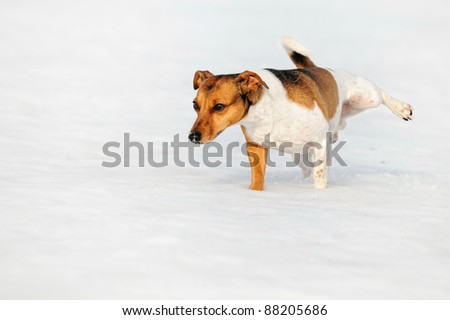 Jack Russel Terrier Dog pees in snow - stock photo