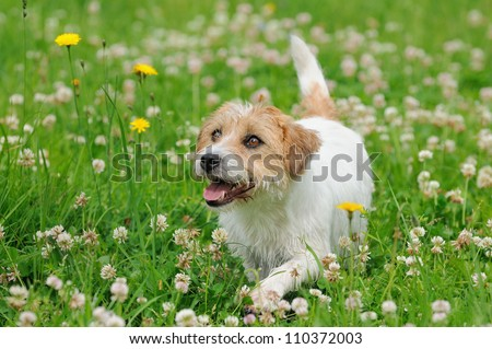 Jack Russel Terrier Dog puppy 6 months in the meadow - stock photo
