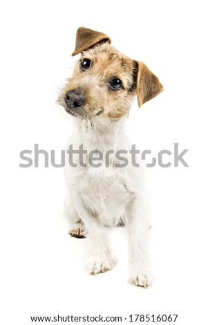 Jack Russel Terrier isolated on white background - stock photo