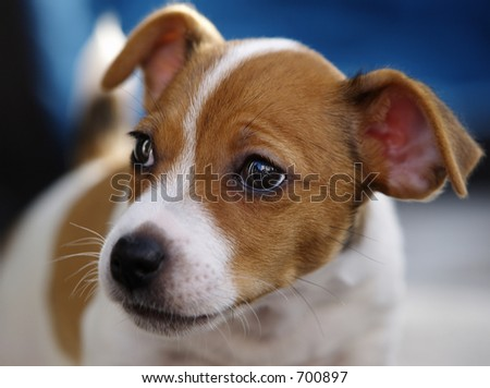 Jack russel terrier puppy - stock photo