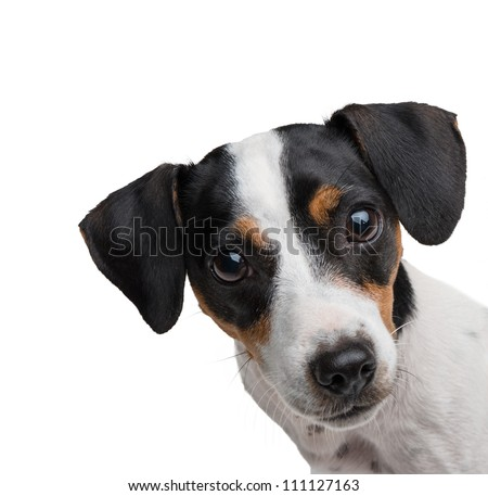 Jack russel terrier studio shot, white background - stock photo