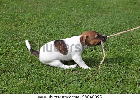 Jack Russel Terrier tugging on a rope - stock photo