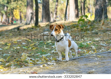 Jack Russel terrier walking in the park in autumn - stock photo