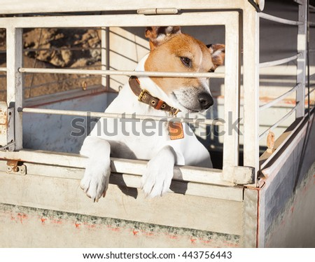 jack russell  abandoned  dog and left all alone in animal shelter or cage, begging to be adopted and come home to owners - stock photo
